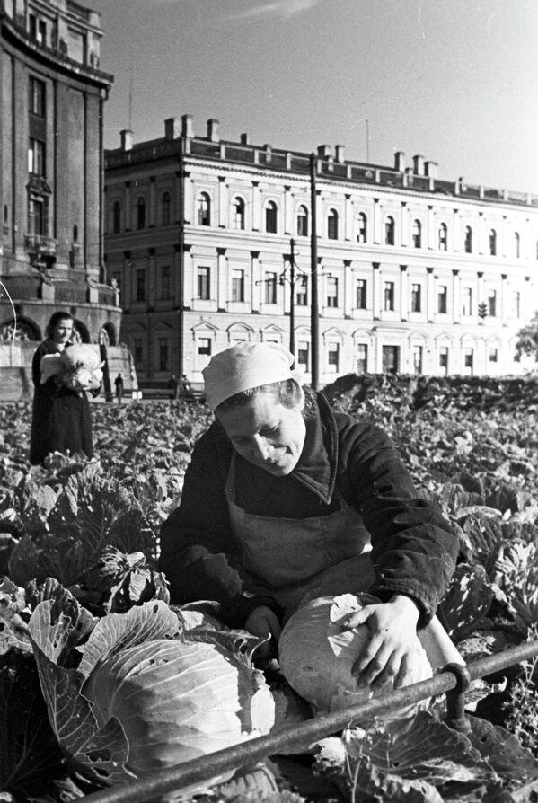 Узгајање купуса на тргу код Исакијевског сабора - Sputnik Србија