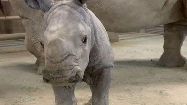 beba nosorog - Sputnik Srbija