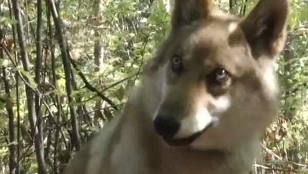 Vučica spasena iz požara - Sputnik Srbija