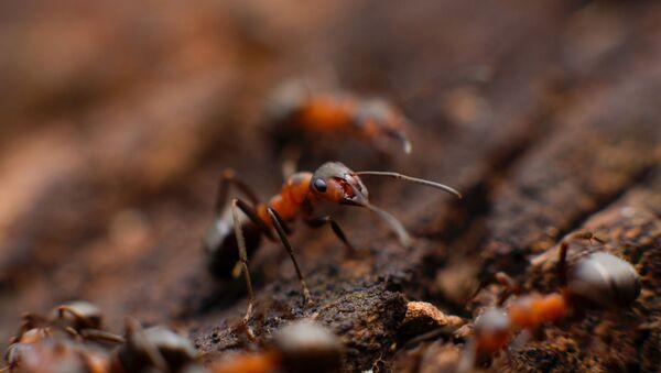 Mravi - Sputnik Srbija