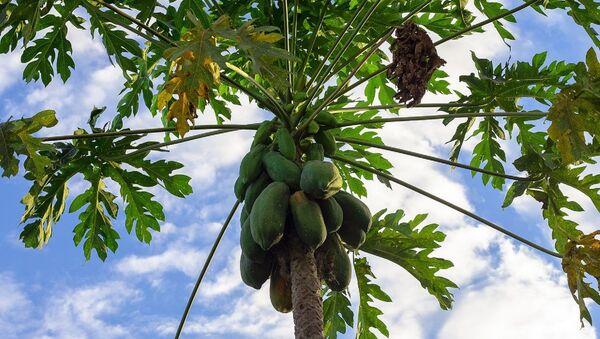 Дрво на ком расте тропско воће пау-пау - Sputnik Србија