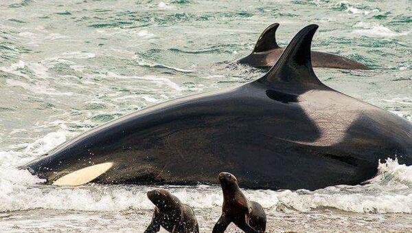 Orka je najveći predator u moru - Sputnik Srbija