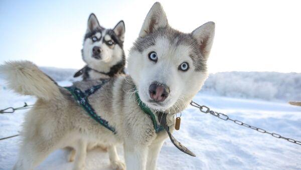 Ездовые собаки породы сибирский хаски в туристическом парке Северное сияние в Мурманской области - Sputnik Србија