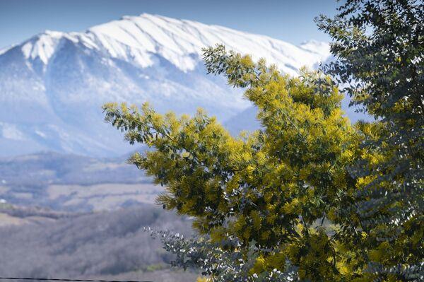 Цветање мимозе у позадини снежних планина Сочија  - Sputnik Србија