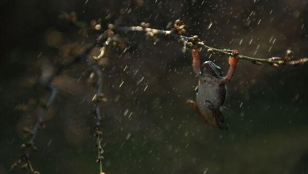 Žaba na kiši - Sputnik Srbija