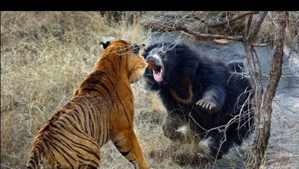 Медвед против тигра: Невероватна борба ратоборних звери - Sputnik Србија