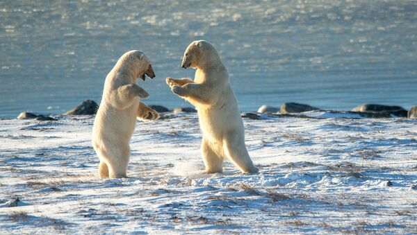 Бели медведи на рту Кожевникова - Sputnik Србија