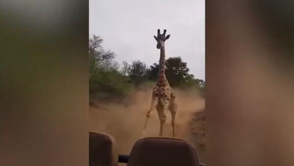 Бесна жирафа у Кенији - Sputnik Србија