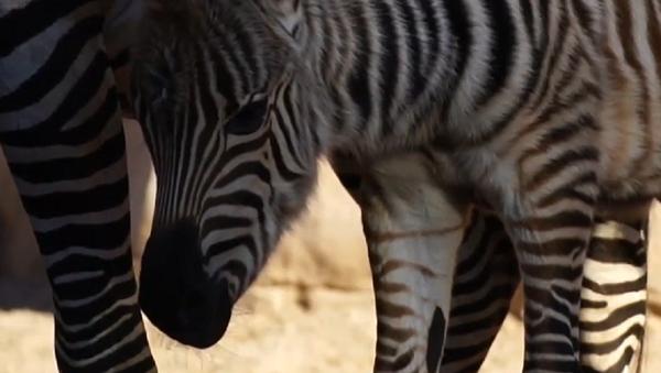 За време мећава у Шпанији: У зоолошком врту рођена зебра - Sputnik Србија