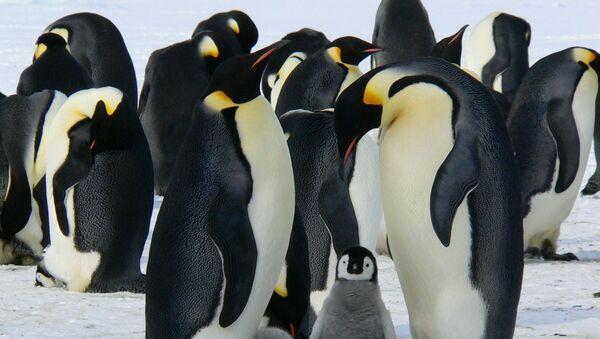 Царски пингвини на Антарктику - Sputnik Србија