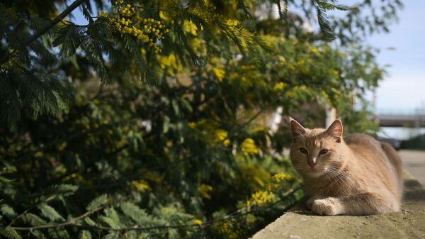 Мачка испод мимозе у Сочију  - Sputnik Србија
