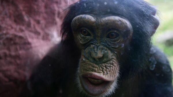 Šimpanza - Sputnik Srbija