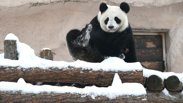 Панда у Московском зоолошком врту - Sputnik Србија