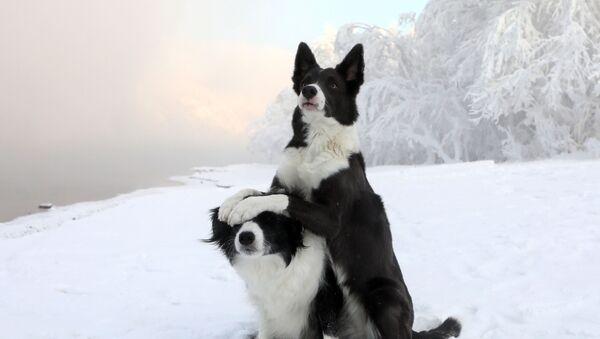 Пси расе бордер коли - Sputnik Србија