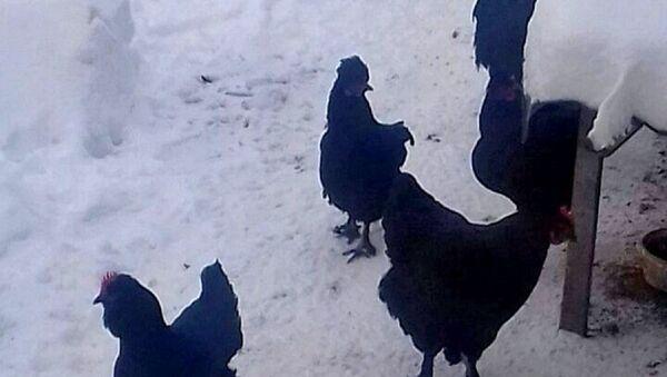 Кокошке које Албанци поклањају манастиру у знак захвалности. - Sputnik Србија