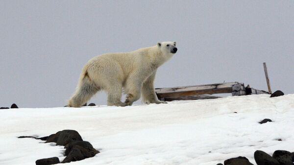 Бели медвед - Sputnik Србија