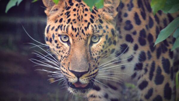 Леопард - Sputnik Србија