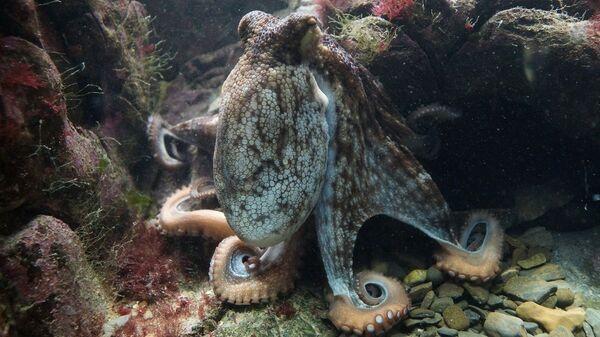 Hobotnica - Sputnik Srbija