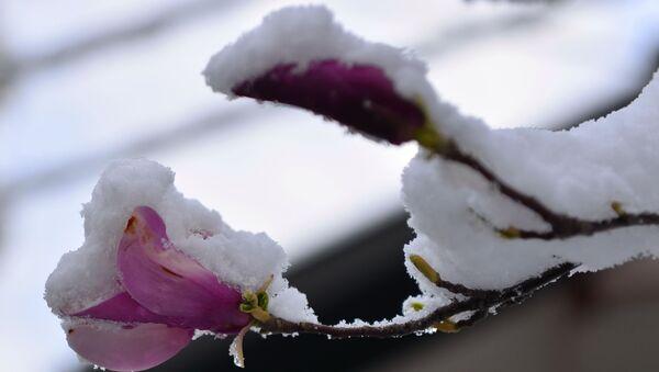 Sneg prekrio tek procvetalo cveće - Sputnik Srbija