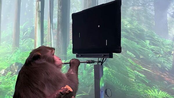 Мајмун коме су уграђени чипови у мозак игра видео-игру путем мисли - Sputnik Србија
