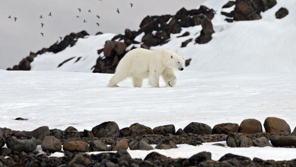 Beli medved na jednom od ostrva arhipelaga Zemlja Franje Josifa - Sputnik Srbija