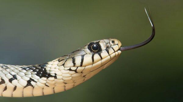 Змија - Sputnik Србија