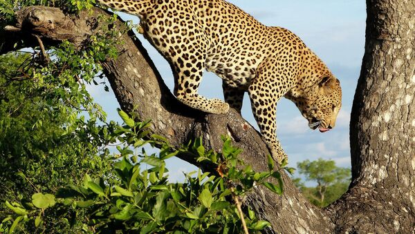 Леопард из резервата Лондолози у Јужној Африци на дрвету - Sputnik Србија