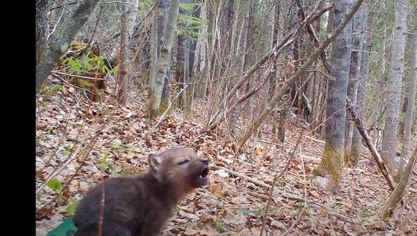 Beba vuka prvi put zavija u životu - Sputnik Srbija