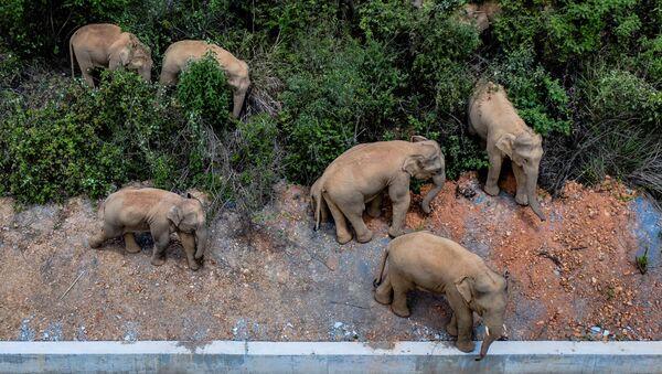 Krdo divljih slonova u Kini - Sputnik Srbija