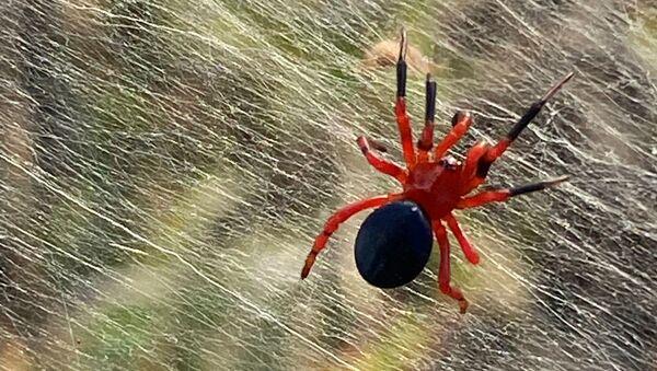 Најезда паукова у Аустралији - Sputnik Србија