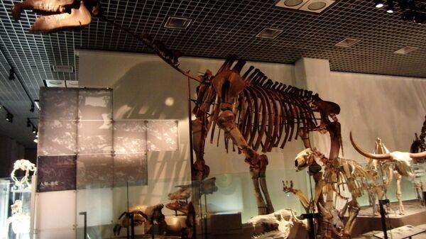 Kostur indrikoterije (Indricotherium transouralicum). Izložba u Nacionalnom muzeju prirode i nauke, Tokio, Japan - Sputnik Srbija