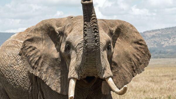 Афрички слон - Sputnik Србија