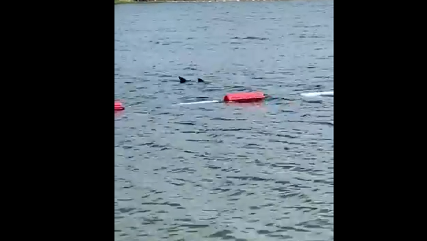 Ајкула на Ади - Sputnik Србија