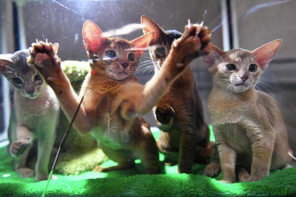 Abasinske mačke na izložbi Košariki šou u Moskvi - Sputnik Srbija