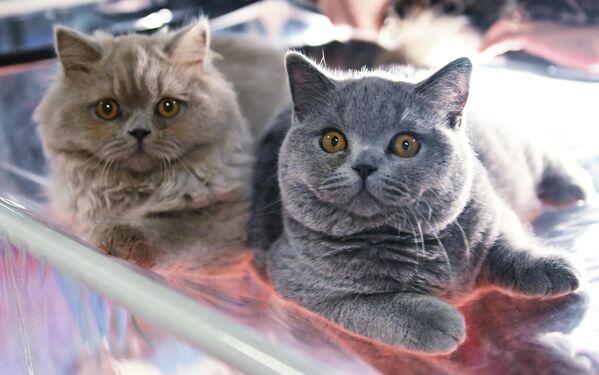 Mačke na izložbi Košariki šou u Moskvi - Sputnik Srbija
