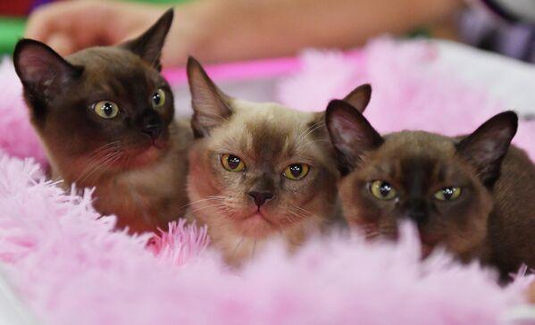 Mačke rase burma na izložbi Košariki šou u Moskvi - Sputnik Srbija