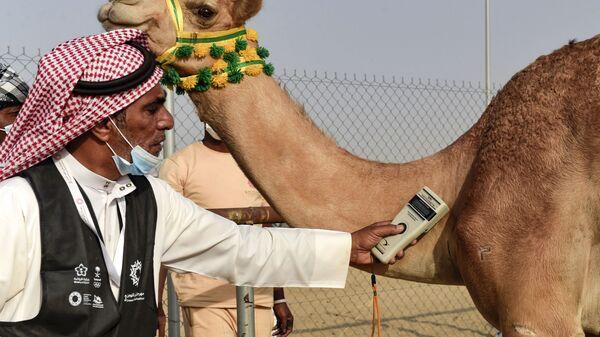 Проверка микрочипа верблюдов во время соревнования в саудовском городе Таиф - Sputnik Србија