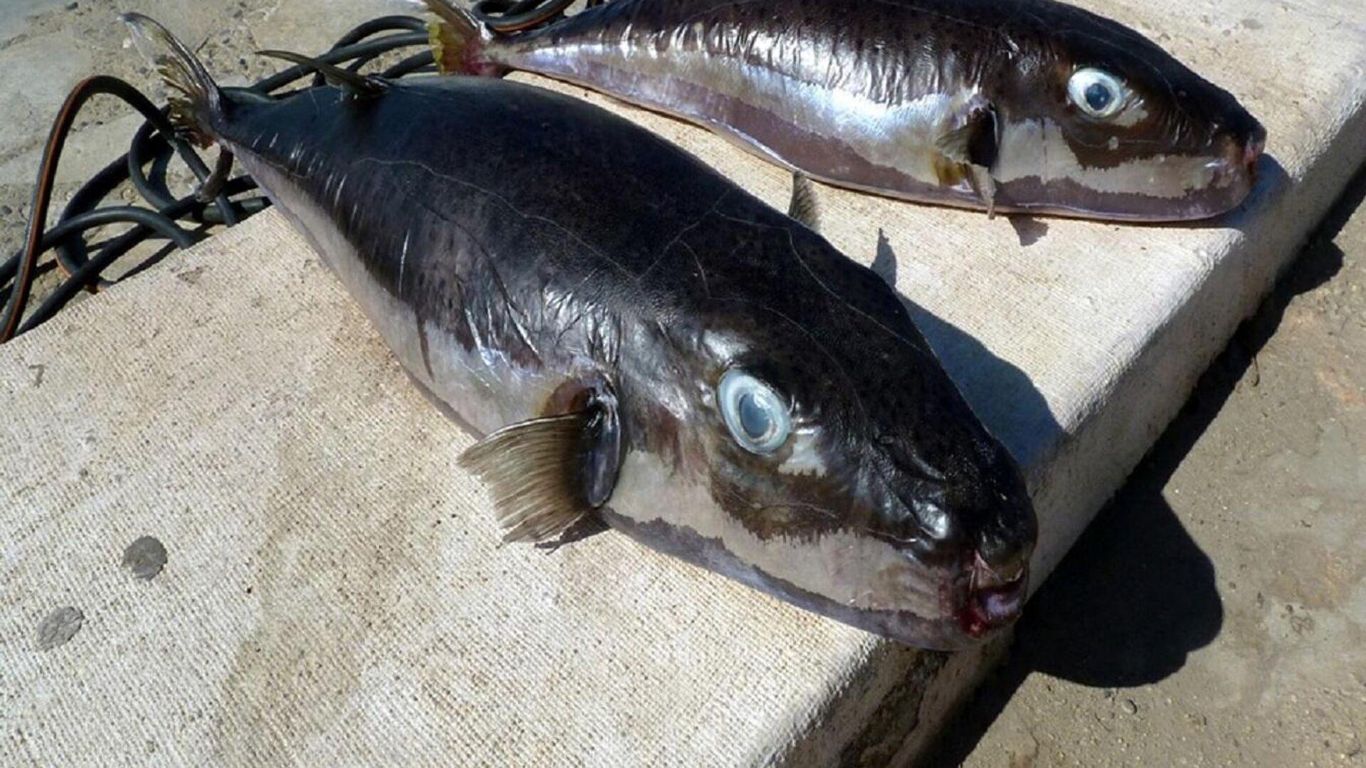 Риба надувача или сребрнопруга четворозупка која се проширила из тропских вода у Медитеран - Sputnik Србија, 1920, 21.09.2021