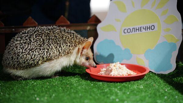 Чувени јеж из руског зоо врта прогнозира рано пролеће - Sputnik Србија