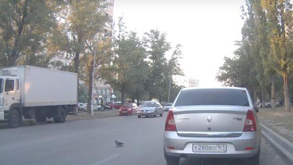 Pigeon Provokes Triple Traffic Accident - Sputnik Srbija