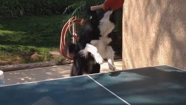 Dog Plays Ping Pong - Sputnik Srbija