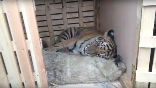 Mladunče amurskog tigra koje su moskovski policajci spasli od lovokradica, a potom usvojili - Sputnik Srbija