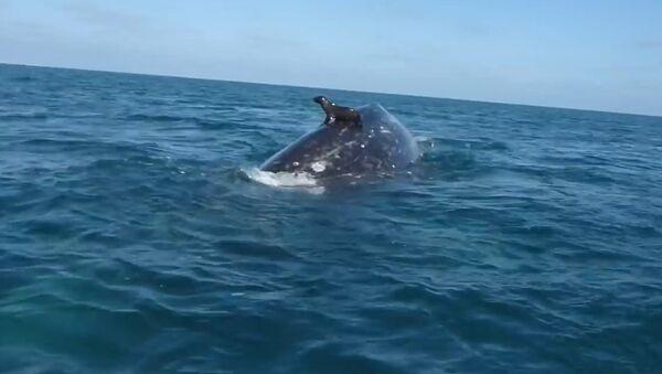 Seal Rides a Whale - Sputnik Srbija
