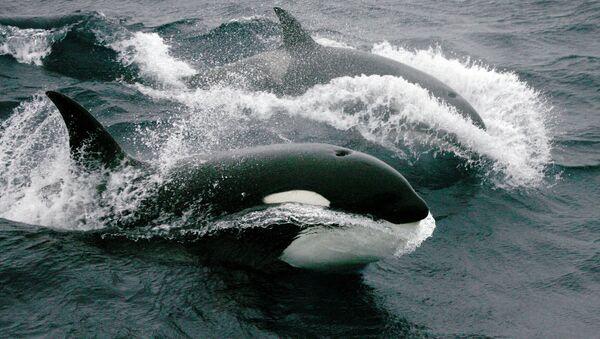 Китови убице - Sputnik Србија