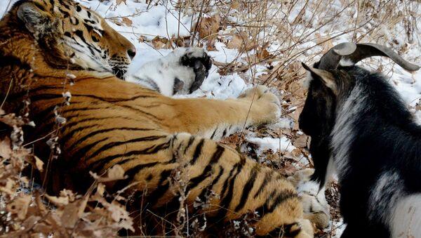 Jarac Timur i tigar Amur - Sputnik Srbija