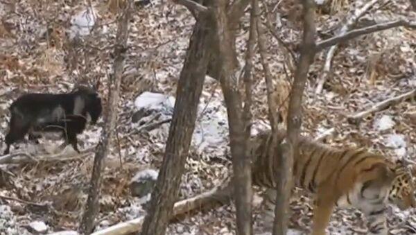 Tiger and goat - Sputnik Srbija