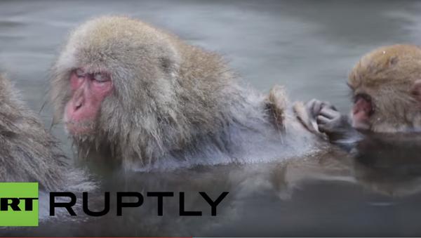 Мајмуни, Јапан - Sputnik Србија