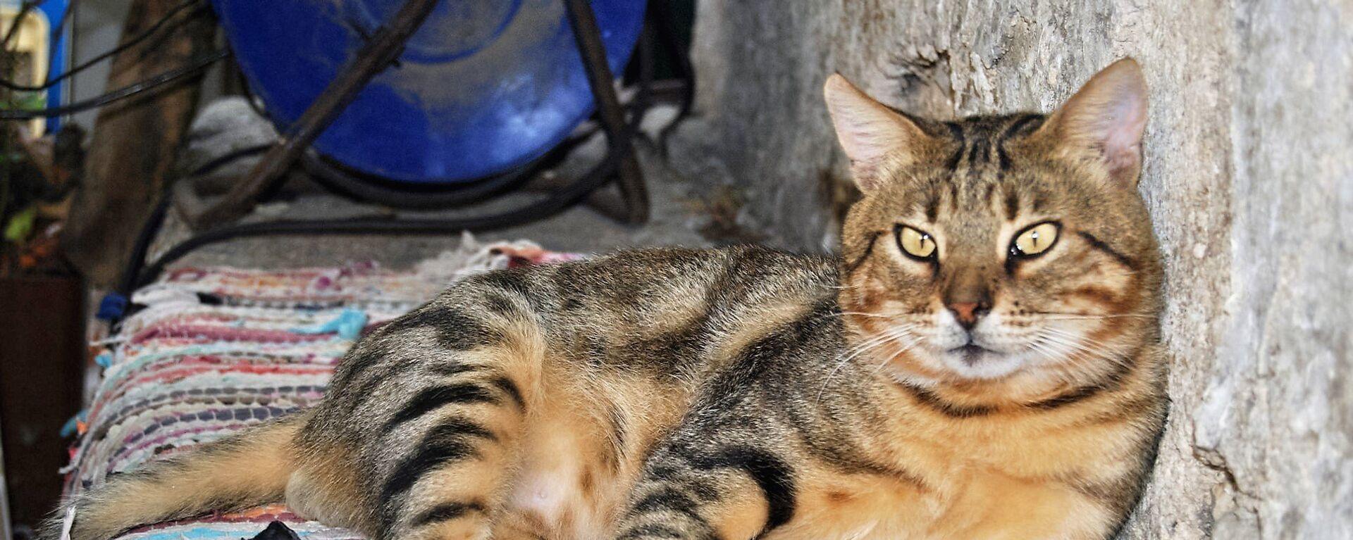 Mačke žive u bliskoj vezi sa ljudima najmanje 9.500 godina. - Sputnik Srbija, 1920, 17.08.2021