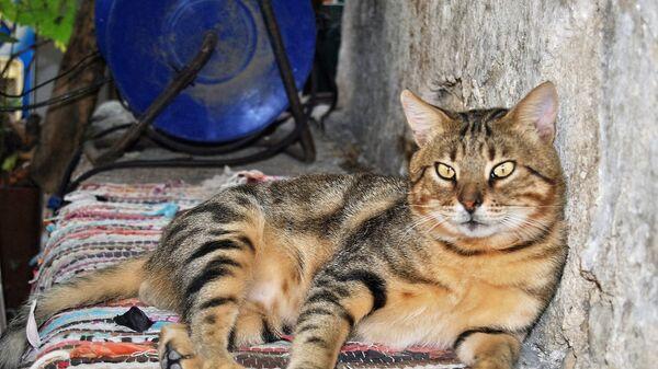 Mačke žive u bliskoj vezi sa ljudima najmanje 9.500 godina. - Sputnik Srbija