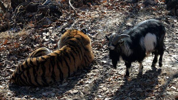 Tigar Amur i jarac Timur - Sputnik Srbija